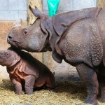 TORONTO, May 9, 2016 (Xinhua) -- A two months old male Indian rhino calf (L) stays with his mother Ashakiran during Mother's Day at the Toronto Zoo in Toronto, Canada, May 8, 2016. (Xinhua/Zou Zheng/IANS)