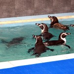 Mumbai: The three male, three female and two female baby Humboldt penguins reach the Byculla zoo from Seoul, South Korea for around Rs.2 crore as part of modernisation plan; in Mumbai on July 26, 2016. The Humboldt penguin is a south American species foun